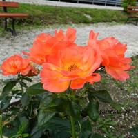 Róża  parkowa