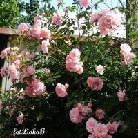 Róża pnąca jasnoróżowa