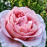 Róża Różowa :-))