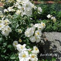 Róża wielkokwiatowa biała