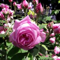 Róża wielkokwiatowa różowa