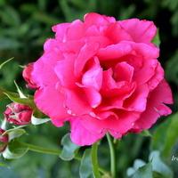 Róża wielokrotna