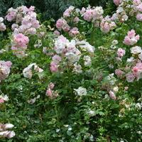 Róże na moim osiedlu