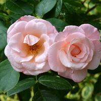 Róże o barwie jasnoróżowej