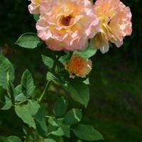 Róże w różnych barwach.