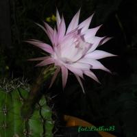 Kaktus Echinopsis
