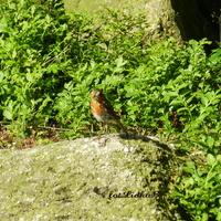 Rudzik ,radosny  ptaszek