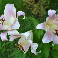 Trzy lilie