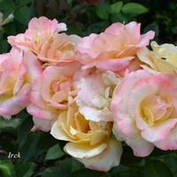 Wiązanka róż