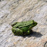 Zielona żabka