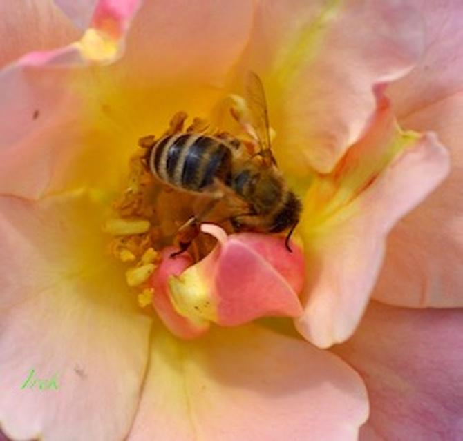 głodomorek na kwiatku