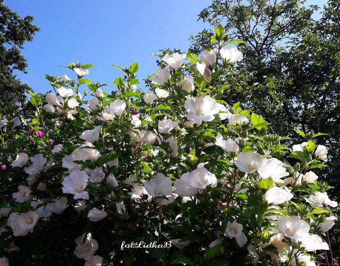 Hibiskus -Róża chińska