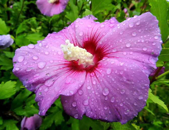 Hibiskus w deszczu