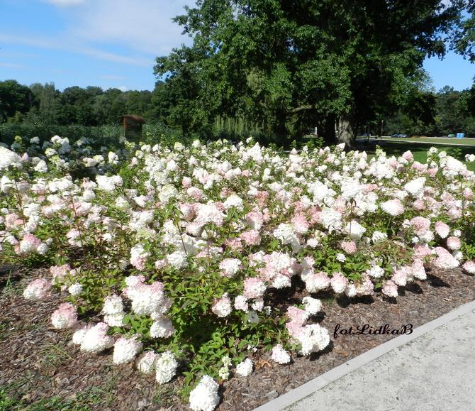 Hortensje w parku
