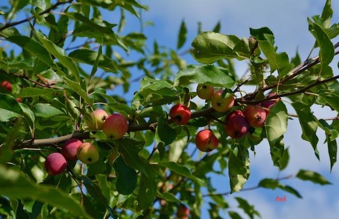 Jabłuszka na gałązce