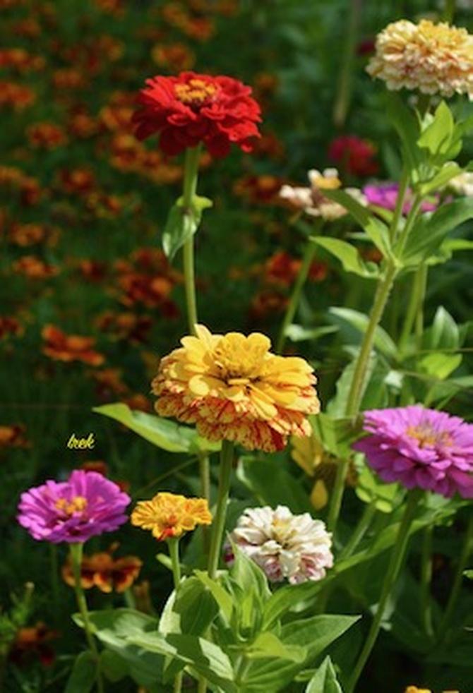 Kolorowe kwiaty, cynie