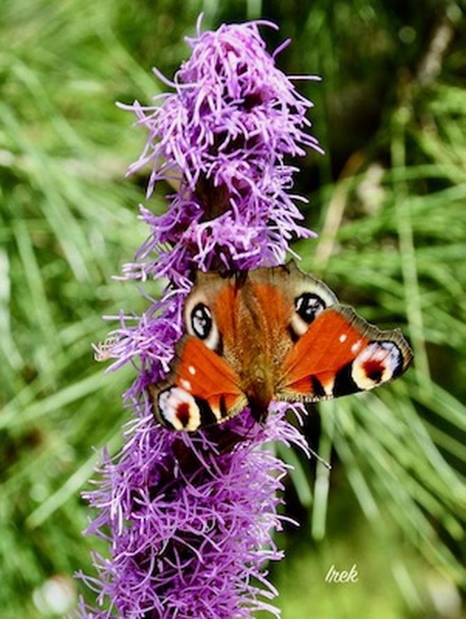 Liatra kłosowa z motylem