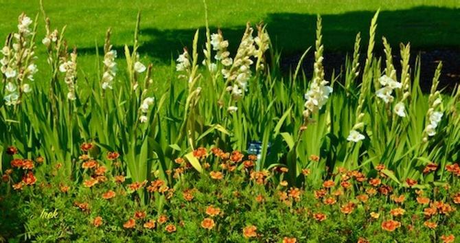 Mieczyki w ogrodzie botanicznym