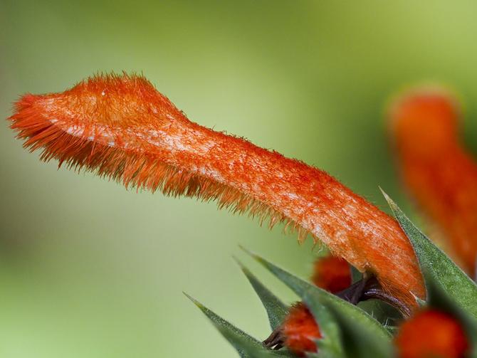 Płatek kwiatka Klip Dagga