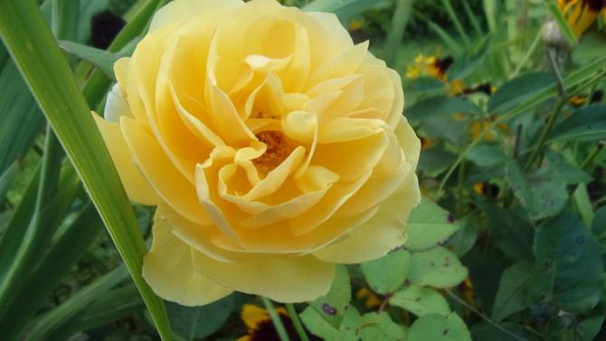 Powtórkowa róża.