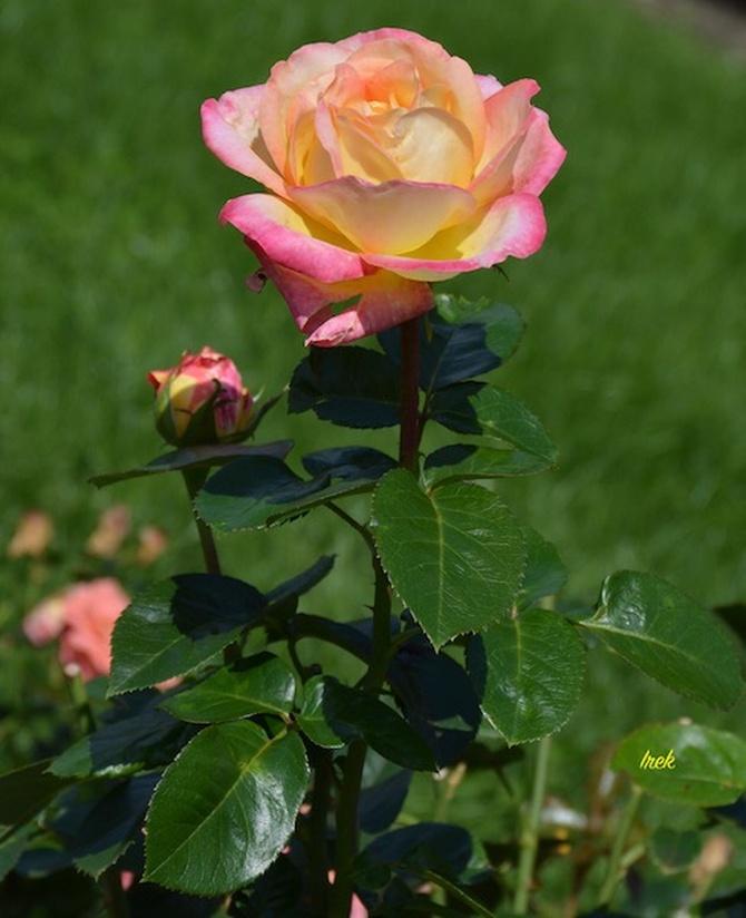 Róża na poprawienie samopoczucia po burzy