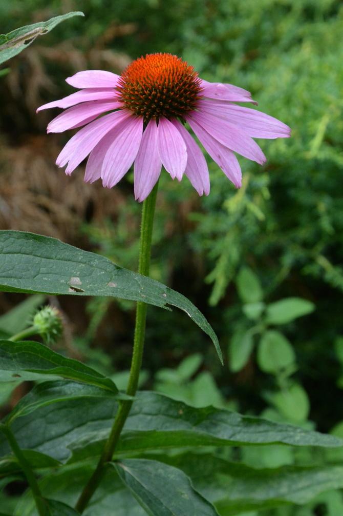 Wysoki kwiatek, jeżówka