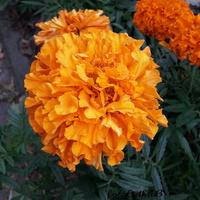 Aksamitki pomarańczowe
