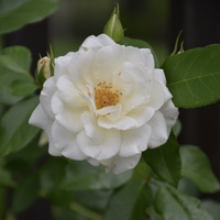 Biała róża na spokojne sny