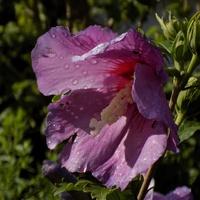 Ciemniejszy róż