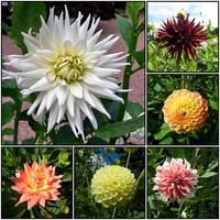 Dalie-kwiaty sierpnia
