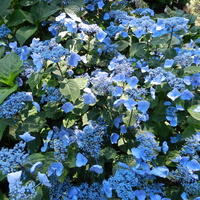 Hortensja krzewiasta niebieska