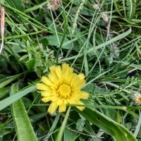 Jastrzębiec kosmaczek, (Hieracium pilosella L.)