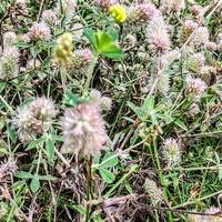 Koniczyna polna Trifolium arvense L.