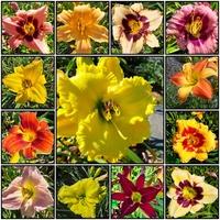 Liliowce , kwiaty lata 2021