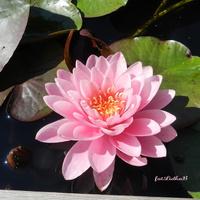 Lilia wodna różowa