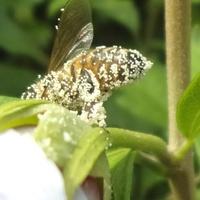 Pazerna pszczółka.
