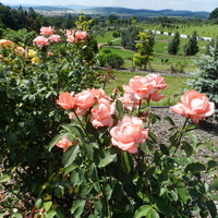 Róże - Arboretum  w Wojsławicach