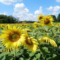 Słoneczne kwiaty,słoneczniki