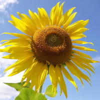 Słonecznikowe słoneczko