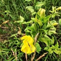Wiesiołek dwuletni (Oenothera biennis L.)