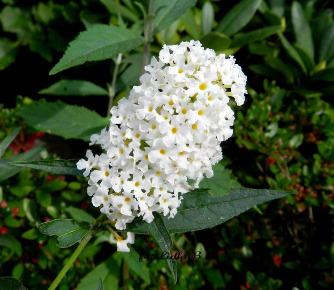 Budleja biała kwitnie