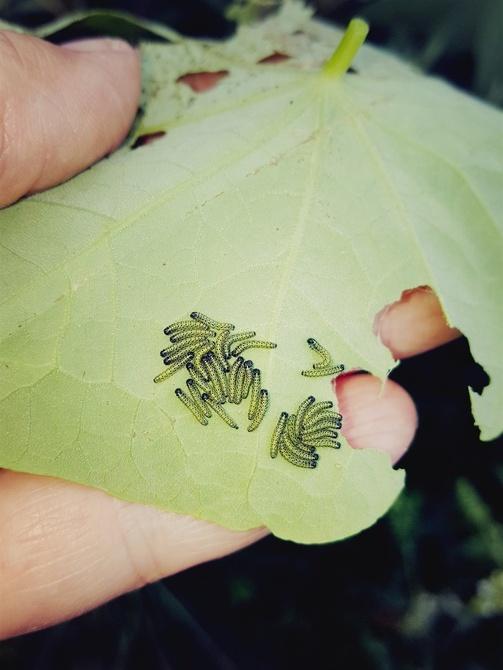 Małe gąsieniczki bielinka...