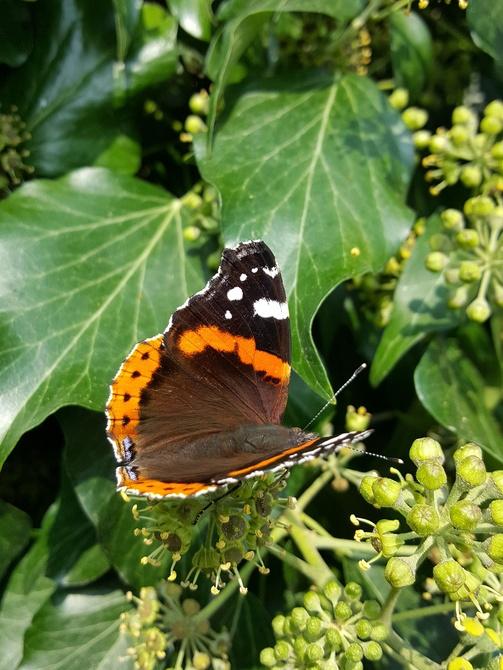 Motyl i bluszcz....