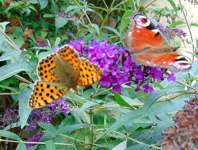 Motyle nie robią hałasu