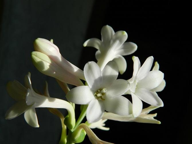 Ostatnie kwiaty tuberozy:)