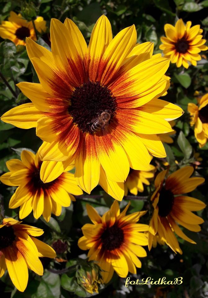 Słonecznik zwyczajny  ,Merida Bicolor,