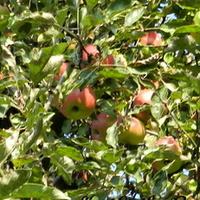 28 września-Światowy Dzień Jabłka