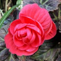 Begonia  bulwiasta różowa