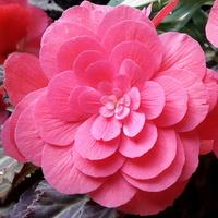 Begonia różowa