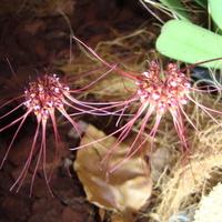 Bulbophyllum Gracillinum w zbliżeniu .